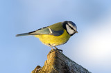 Blue Tit (Parus caeruleus) on the edge
