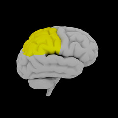 Parietal lobe - human brain in side view