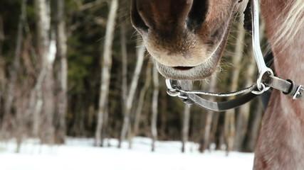 horse muzzle close-up