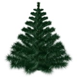 Isolated Fir