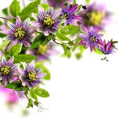 Passionsblumen: passiflora violacea und passiflora incarnata