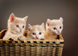 Obrazy na ścianę i fototapety : three red British kittens