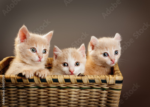 Fototapety, obrazy : three red British kittens