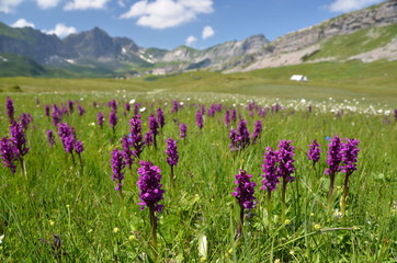 Wild orchids in an Alpine meadow. Melchsee-Frutt, Switzerland