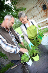 Senior couple planting aromatic herbs in pot