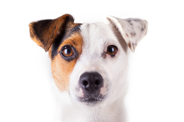 jack russell portrait of a white background
