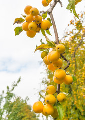Yellow crab apples at a branch