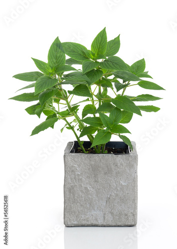 Green mint in a pot