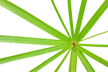 Green Leaf of sedges isolated on white