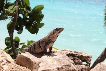 iguana in the Caribbean Sea