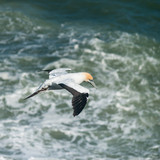 Australasian Gannet in flight