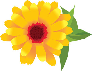 .1.image of garden plants flower calendula