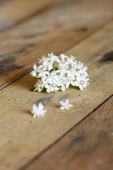 Elderberry (Sambucus ebulus) flower