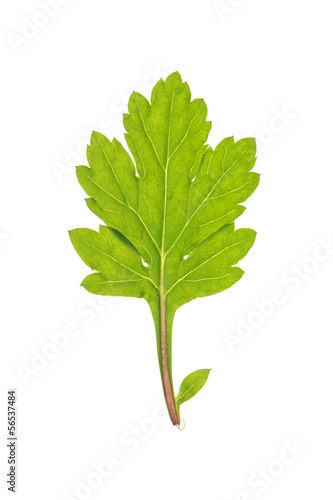 Leaf of Common wormwood isolated on white