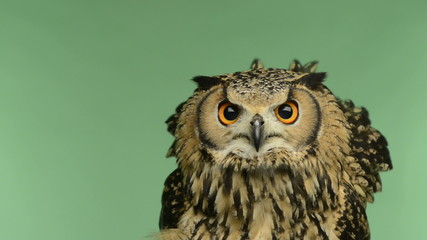 Close-up of a Indian Eagle Owl looking around, green key