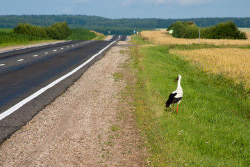 Big white Stork stayed near the road