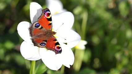European Peacock (Inachis io) butterfly on white cosmos flower.