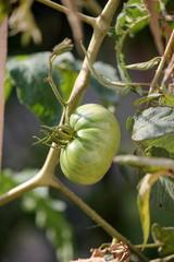 green tomatoes in garden