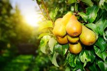 Poires organiques fraîches sur une branche d'arbre