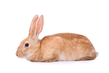 Timid young red rabbit isolated on white background..