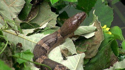 Checkered keelback snake at a pond (Asiatic water snake)