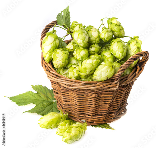 hop cones in a basket isolated on a white