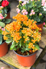 Kalanchoe house plant, close up