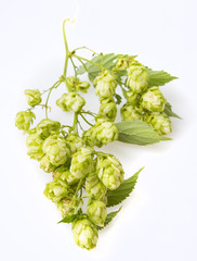 a branch with cone hops