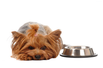 Hungry yorkshire terrier portrait