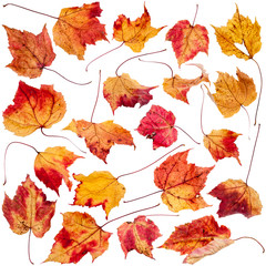 Dried maple leaf collection
