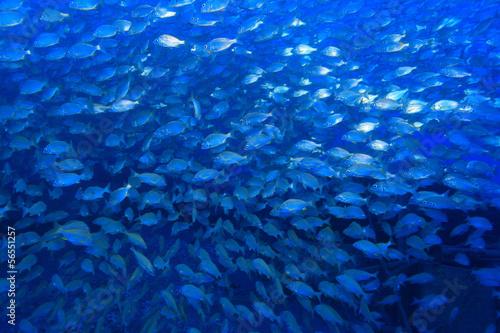 Fischschwarm im Atlantik