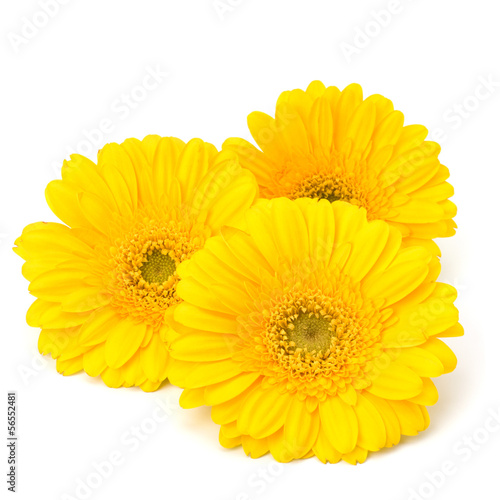 Beautiful daisy gerbera flowers