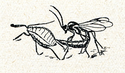 Ichneumon wasp lays eggs in an aphid