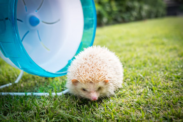 Hedgehog with a blue wheel in a park