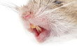 Leinwandbild Motiv mouse nose. macro