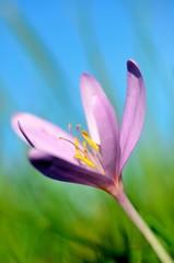 Blütenkelch einer Herbstzeitlose