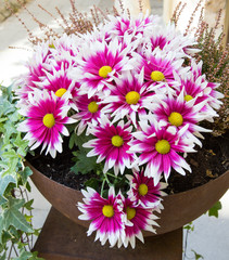 Pink chrysanthemums in a pot