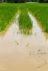 Green rice fields are flooded and damaged