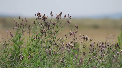 field pipit