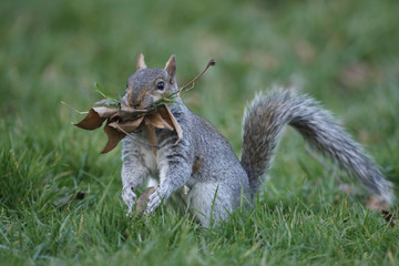 Grey squirrel, Sciurus carolinensis