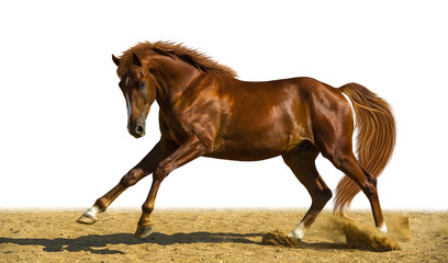 Chestnut horse runs freely