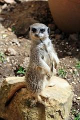 Meerkat At Zoo
