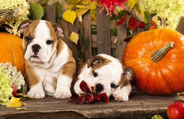 English bulldog puppies and a pumpkin