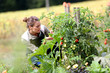 Woman in kitchen garden picking tomatoes