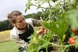 Woman in kitchen garden picking tomatoes