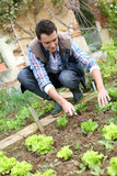 Man cultivating lettuces in kitchen garden