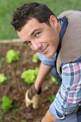 Man cultivating lettuces in kitchen garden