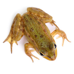 Marsh frog isolated on white view from above
