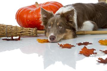 Border Collie laying on halloween broom
