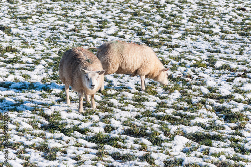 Marked sheep grazing in a snowy grassland